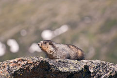 Close-up van marmot Stock Fotografie