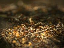 Close-up van mieren die bij de mierenhoop in het hout werken Royalty-vrije Stock Fotografie