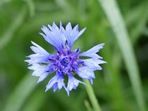 Close-up van mooie cyanus van Korenbloemcentaurea stock fotografie