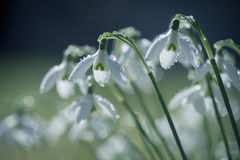 Close-up van mooie die sneeuwklokjes met regendruppeltjes wordt behandeld Royalty-vrije Stock Foto's