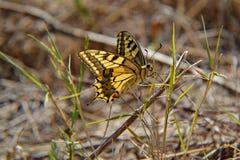 Close-up van mooie gele vlinder met open vleugels in natuurlijk milieu Stock Afbeelding