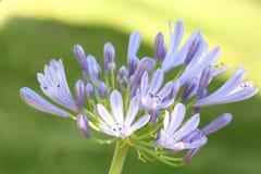 Close-up van mooie Lelie van de bloem die van Nijl wordt geschoten royalty-vrije stock foto's