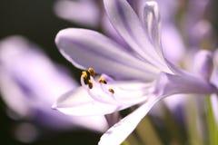 Close-up van mooie Lelie van de bloem die van Nijl wordt geschoten royalty-vrije stock afbeelding