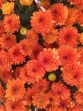 Close-up van Mooie Oranje Bloemen Royalty-vrije Stock Foto's
