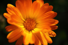 Close-up van mooie oranje madeliefjebloem die wordt geschoten Royalty-vrije Stock Afbeelding