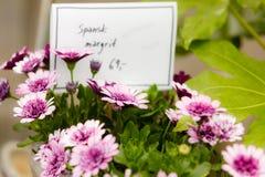 Close-up van mooie purpere bloemen, madeliefjes Stock Afbeeldingen