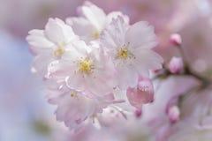 Close-up van mooie roze Japanse kersenbloesems of sakura Stock Afbeeldingen