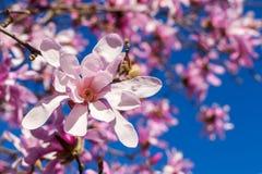 Close-up van mooie roze magnoliabloem op een achtergrond van bloeiende boom en heldere blauwe hemel Het tot bloei komen van magno stock fotografie