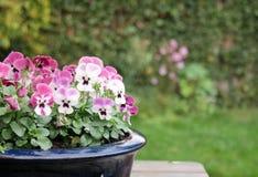 Close-up van mooie Viooltjes of kleurrijke pansies in groene tuin royalty-vrije stock afbeeldingen
