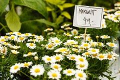 Close-up van mooie witte bloemen, madeliefjeskosmos Royalty-vrije Stock Foto's