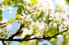 Close-up van mooie witte de lentebloemen royalty-vrije stock afbeeldingen