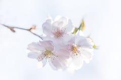 Close-up van mooie witte kersenbloesems of sakura Stock Foto's