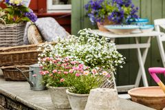 Close-up van mooie witte roze bloemen, madeliefjes Stock Fotografie