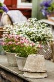 Close-up van mooie witte roze bloemen, madeliefjes Stock Foto