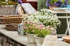 Close-up van mooie witte roze bloemen, madeliefjes Royalty-vrije Stock Afbeeldingen