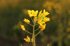 Close-up van mosterdbloem wordt geschoten van Punjab dat stock foto
