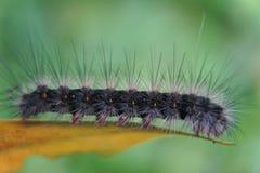 Close-up van mot Caterpillar, Harige die rupsband met vage achtergrond wordt geïsoleerd royalty-vrije stock afbeelding