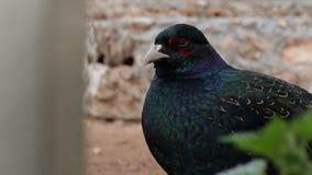 Close-up van multi-colored vogelwaarneming en het knipperen oog, zich wendt hij af en loopt stock footage