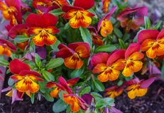 Close-up van multicolored rood-oranje bloemen van pansies stock afbeelding
