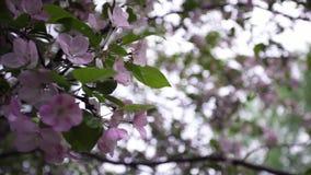 Close-up van natuurlijke tot bloei komende boombloemen Voorraadlengte Mooie bloeiende roze bloemen op takken van groene boom stock videobeelden