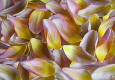 Close-up van Nederlandse tulpenbloemblaadjes, de lenteachtergrond royalty-vrije stock foto