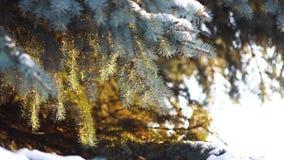 Close-up van nette takken in sneeuw in zonlicht De takken van blauwe sparren met sneeuw worden prachtig verlicht door warm stock videobeelden