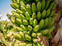 Close-up van nog groene bananen royalty-vrije stock foto's