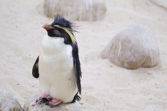 Close-up van Noordelijke Rockhopper-pinguïn in Cape Town stock fotografie