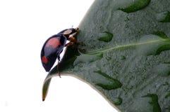 Close-up van Onzelieveheersbeestje op blad Royalty-vrije Stock Afbeelding
