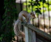 Close-up van Oostelijke grijze eekhoorn met gewaardeerd punt op houten post stock fotografie