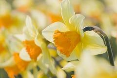 Close-up van oranje gele narcissen Royalty-vrije Stock Foto's