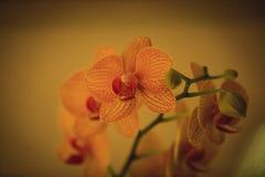 Close-up van Orchideeënbloemen in tuin Stock Fotografie