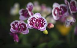 Close-up van Orchideeënbloemen in tuin Stock Foto