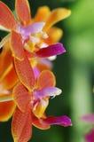 Close-up van orchidee Royalty-vrije Stock Fotografie
