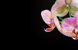 Close-up van orchidee voor zwarte achtergrond stock foto