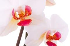Close-up van orchideebloem Stock Foto's