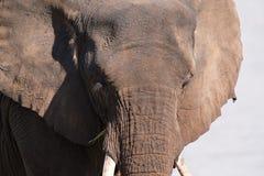 Close-up van oud olifantshoofd bezig het eten van artistieke omzetting Stock Foto's