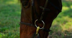 Close-up van paard weidend gras in boerderij 4k stock footage