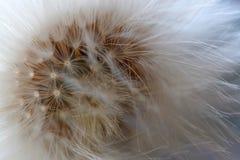 Close-up van paardebloem Stock Afbeelding