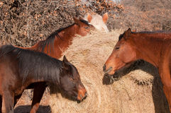 Close-up van paarden die hooi eten Stock Fotografie