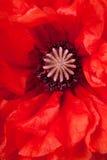 Close-up van papaverbloem Royalty-vrije Stock Foto's