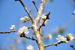 Close-up van perzikbloemen Stock Afbeelding