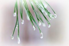 Close-up van Pijnboomnaalden met ijsdalingen Spartakken Voor de winter, de lente, Vrolijke Kerstmis, gelukkig nieuw jaarlicht Stock Foto's