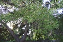Close-up van pijnboomtak, op een lichte Zonnige achtergrond Stock Afbeelding