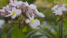 Close-up van plumeriabloem wordt geschoten die op boom bloeien die stock video