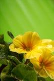 Close-up van primulabloem royalty-vrije stock afbeeldingen