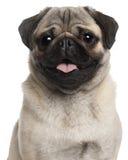 Close-up van Pug, 8 maanden oud Royalty-vrije Stock Afbeelding