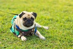Close-up van Pug op het groene gras in de tuin Stock Foto's