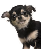 Close-up van puppy Chihuahua Royalty-vrije Stock Afbeeldingen