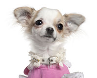 Close-up van puppy Chihuahua in roze kleding Royalty-vrije Stock Afbeeldingen
